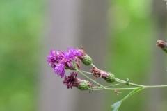 New York Ironweed (Vernonia noveboracensis) - 12