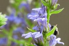 Purple Giant Hyssop (Agastache scrophulariaefolia)