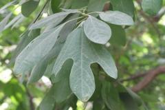 sassafras-tree_4959296662_o
