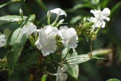 Summer Phlox (Phlox Panculata, David) - 4
