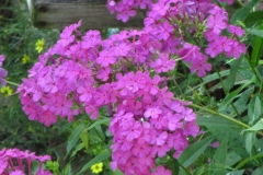 summer-phlox-phlox-paniculata_9342636893_o