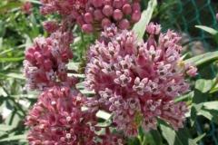 Swamp milkweed (Asclepias incarnata) - 5
