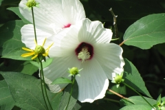 Swamp Rose Mallow (Hibiscus palustris) - 2