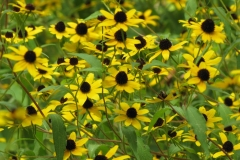 Thin-leaved Coneflower (Rudbeckia triloba)
