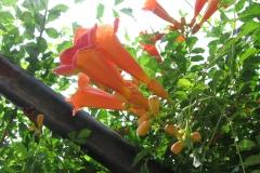 Trumpet Creeper (Campsis radicans)